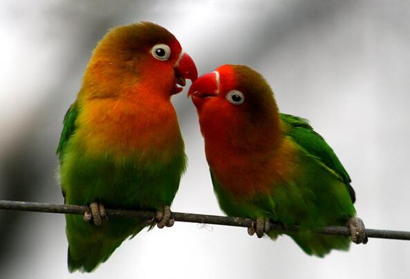 牡丹鹦鹉雌雄辨别方法与繁殖技巧